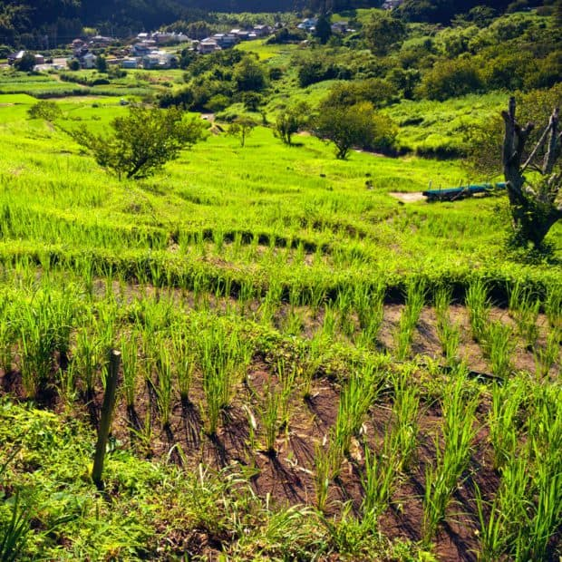 The rice fields of central Yūsei, near the town of Mino.